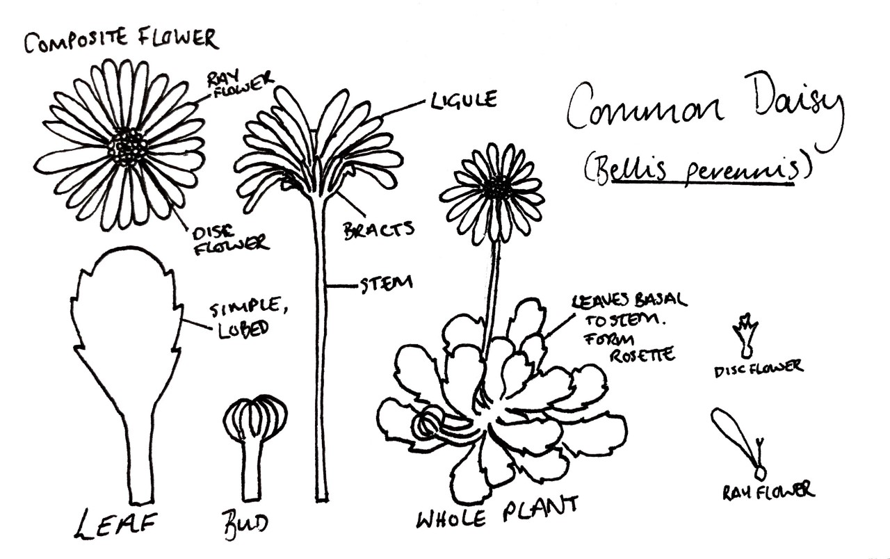 A diagrammatic representation of the different parts of a daisy.