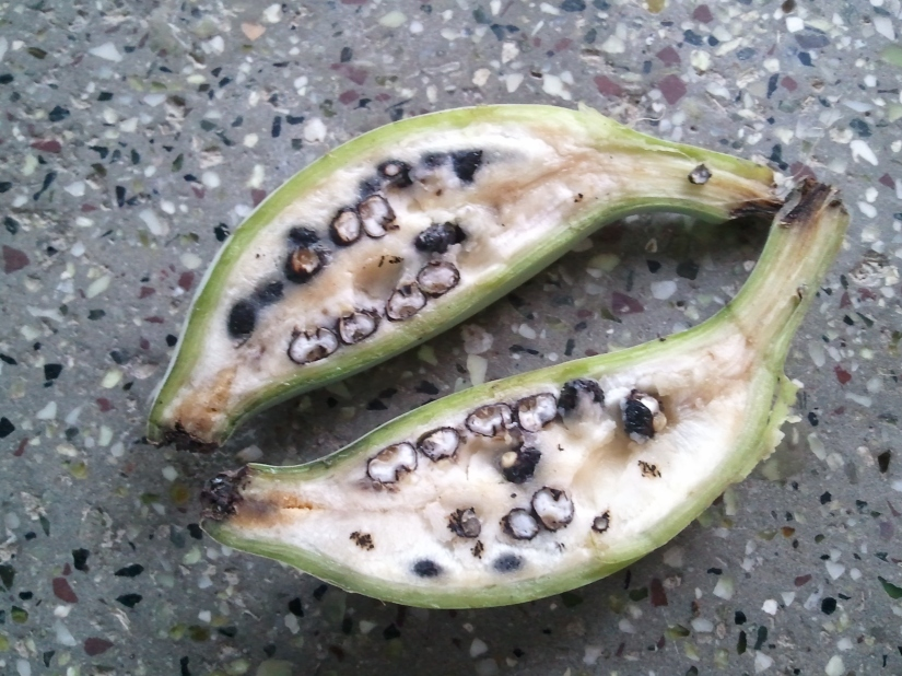 Banana cut in half to show the large black seeds inside