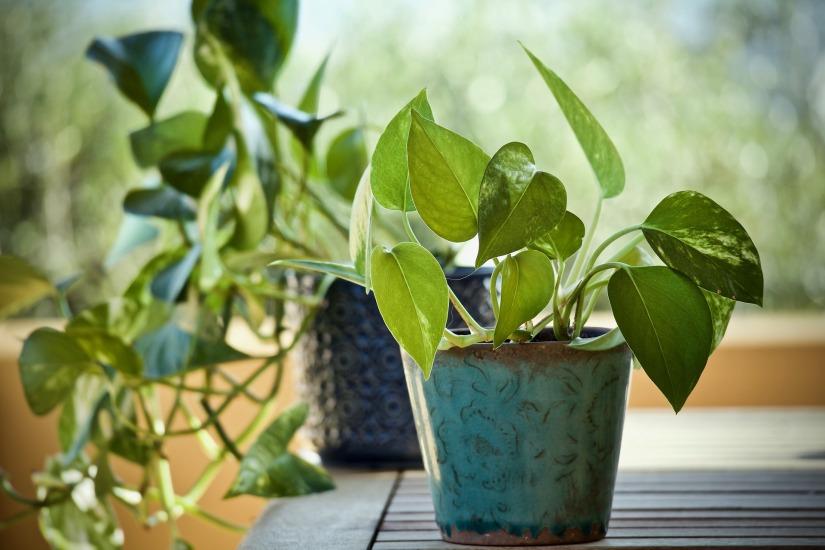 A pothos plant in a pot