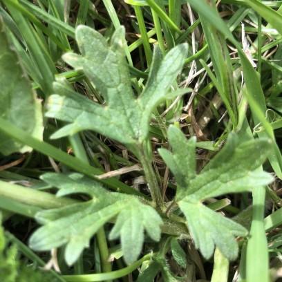 Buttercup leaf