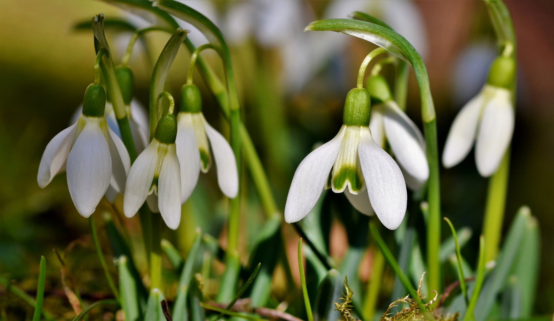 A group of snowdrops growing