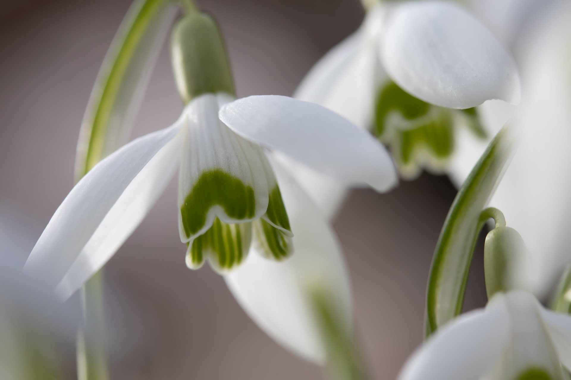 A close-up of a Snowdrop, showing the green markings on the