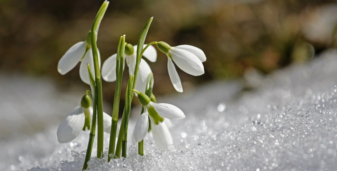 Snowdrops growing on a snowy mountainside
